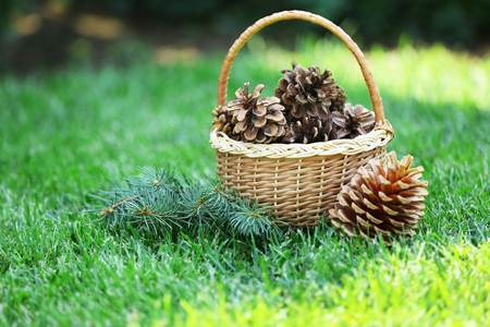 Beautiful pine cones in wicker basket on green grass background Stock Photo