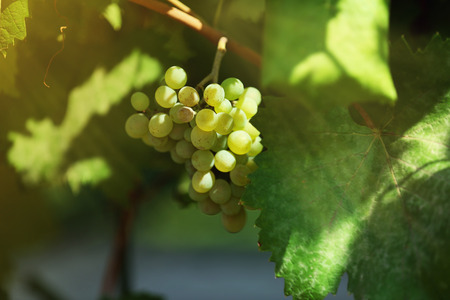 Branch of grapes close up Stock Photo