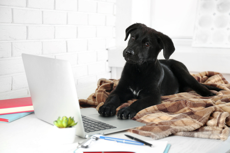 Clever young black Labrador retriever on the office table