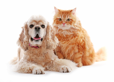 American cocker spaniel and red cat together isolated on white Stock Photo