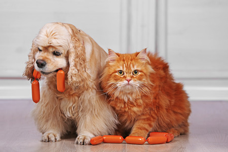 American cocker spaniel and red cat with sausage on floor in room 写真素材