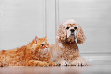 American cocker spaniel and red cat together on floor in room 写真素材