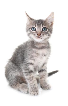 Cute little grey kitten, isolated on white Stock Photo