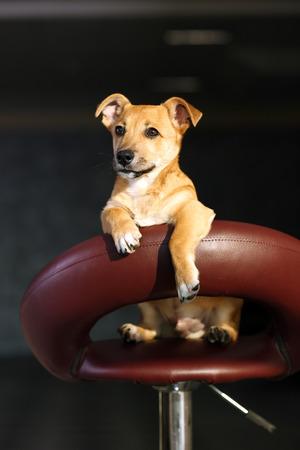 Small funny cute dog sitting on bar stool on grey background Stockfoto
