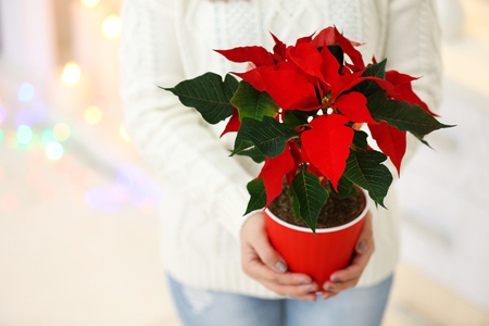 Woman holding pot with Christmas flower poinsettia, on light background Banco de Imagens - 103684771