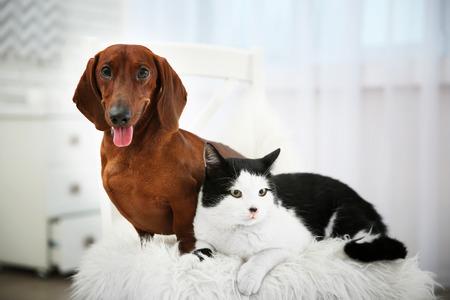 Hermoso perro gato y perro salchicha en silla, interior Foto de archivo