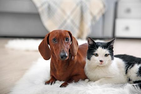 Hermoso perro gato y perro salchicha en una alfombra, interior Foto de archivo