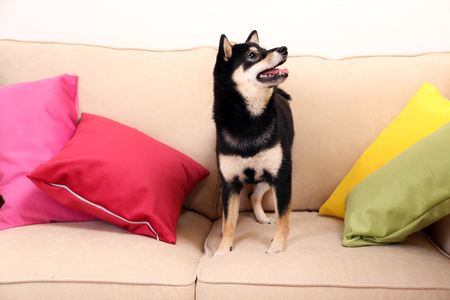 Siba inu on sofa in a room