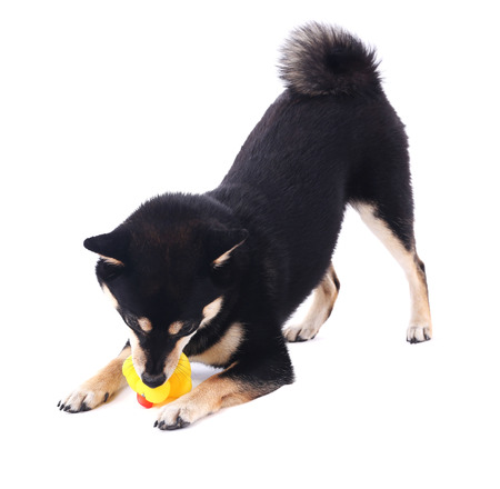 Siba inu playing with toy duck isolated on white Stock Photo - 104382820