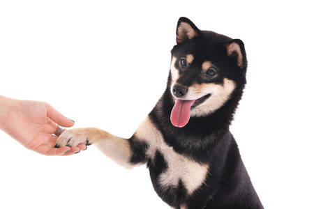 Siba inu dog giving the paw to a woman isolated on white