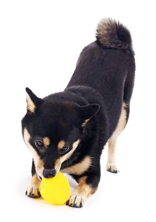 Siba inu playing with toy duck isolated on white Stock Photo