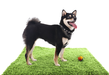 Siba inu dog playing with a toy on a green carpet isolated on white