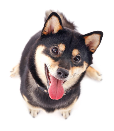 Siba inu dog isolated on white, top view Stock Photo