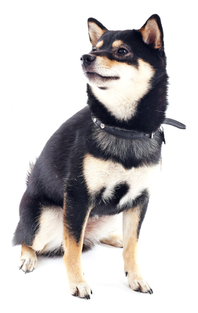 Siba inu with lead isolated on white background Stock Photo