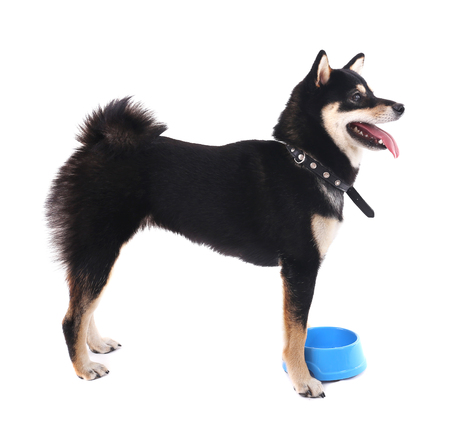 Siba inu dog with a blue bowl isolated on white Stock Photo