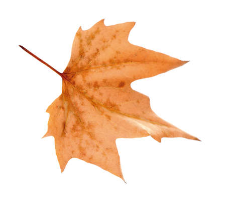 Dry maple leaf with pincers on white background Stock Photo