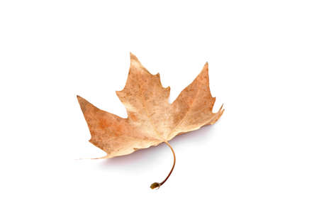 Dry maple leaf, isolated on white