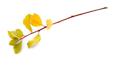 Branch with yellow leaves, isolated on white