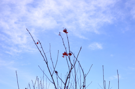 Viburnum bush on blue sky background