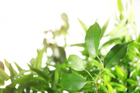 Green leaves of ficus on unfocused background Archivio Fotografico