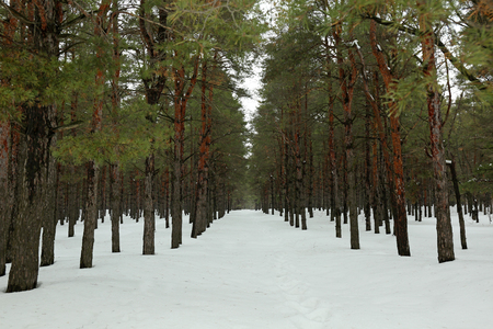 Landscape of snowy pine forest