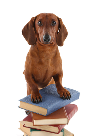 Dachshund on the stack of books isolated on white.