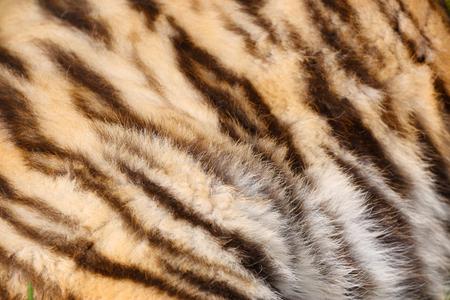 Tiger fur texture Banque d'images