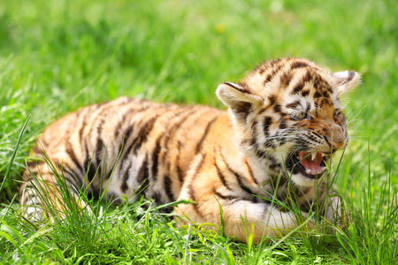 Baby tiger lying on grass