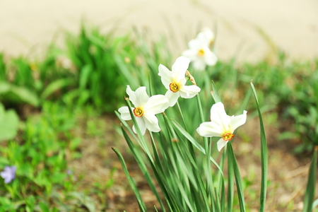 Narcissus on the meadow, closeup