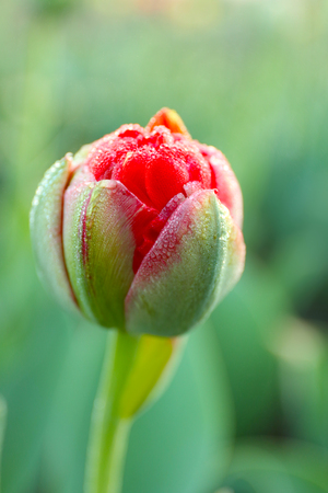 Beautiful young tulip