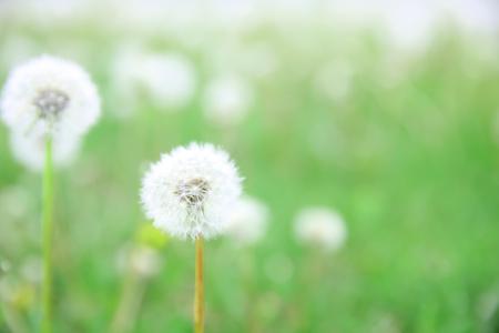 Beautiful dandelions, closeup