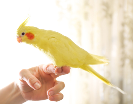 Yellow cockatiel on a female finger, close up Stock fotó