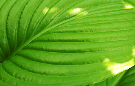 Green lily leaf, closeup