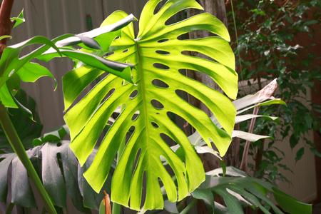 Green monstera palm leaf, close up Stockfoto