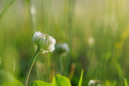 White clover flower on blurred grass background