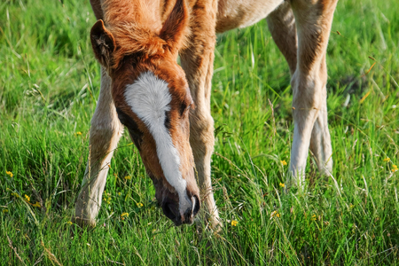 Little foal grazing in field Stock fotó