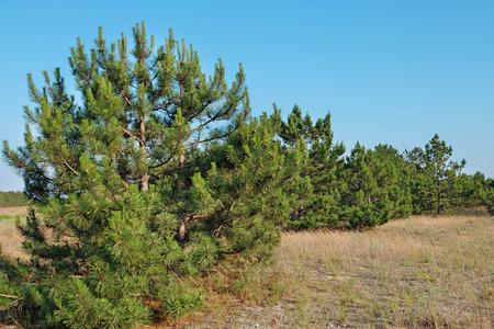 Green pine trees landscape Imagens