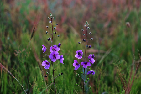 Beautiful meadow purple flowers on blurred grass background Imagens