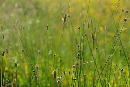 Meadow grass on blurred nature background