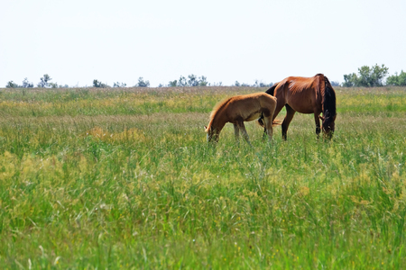 Little foal and mare grazing in field