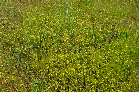 Small yellow wildflowers background