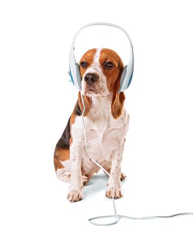 Beagle dog wearing headphones isolated on white Stock Photo