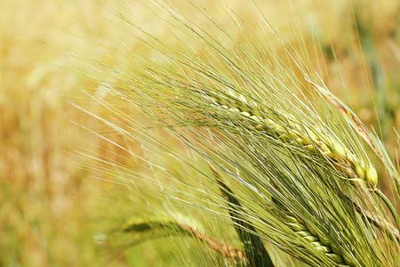 Golden wheat field, close up
