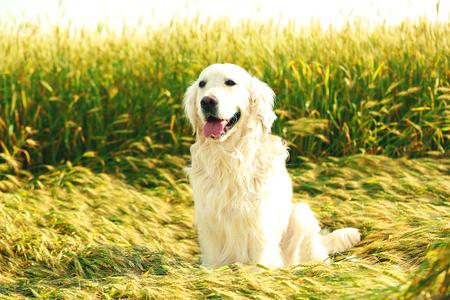 Cute retriever in field Stock Photo