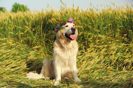 Cute retriever with wreath in field