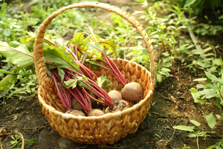 Freshly picked beetroots in a basket on natural background