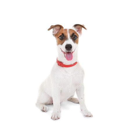 Jack Russell Terrier, isolated on white Stock Photo