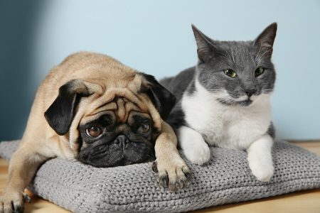 Adorable pug and cute cat lying together on pillow