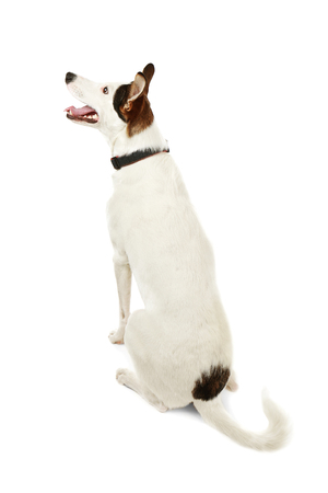 Funny Andalusian ratonero dog on white background