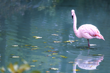 Beautiful flamingo in zoological garden pond Foto de archivo